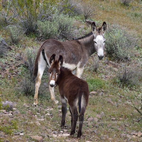 WB-2019.3.6#138. Wild Burro's. Near Lake Pleasant, Maricopa County Arizona.