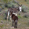 WB-2019.3.6#138. Wild Burro's. Near Lake Pleasant, Maricopa County Arizona.