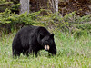 Bear, Black. A really large boar. Rocky Mountains. #519.1590. 3x4 ratio format.