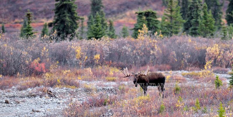 A grand old Alaska bull moose. Alaska Range, Alaska. #921.014z. 1x2 ratio format.