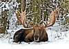 Alaska Moose. Many of the moose that live near Anchorage in the Chugach range don't have the genetic makeup to produce full wide palms and palmated brows. They instead have 2 or 3 point brows but grow long heavy points on their antlers throughout their life. This old bull I was familiar with for over 6 years is a great example of that. Anchorage,Alaska. #1116.121. 2x3 ratio format.