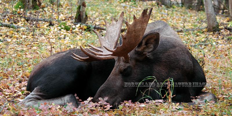 A young sleeping bull moose. Anchorage Alaska. #922.0013. 1x2 ratio format.