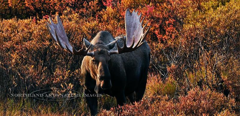 Alaska Moose. In the first light of sunrise. Denali Nat.Park,Alaska. #94.050. 1x2 ratio.
