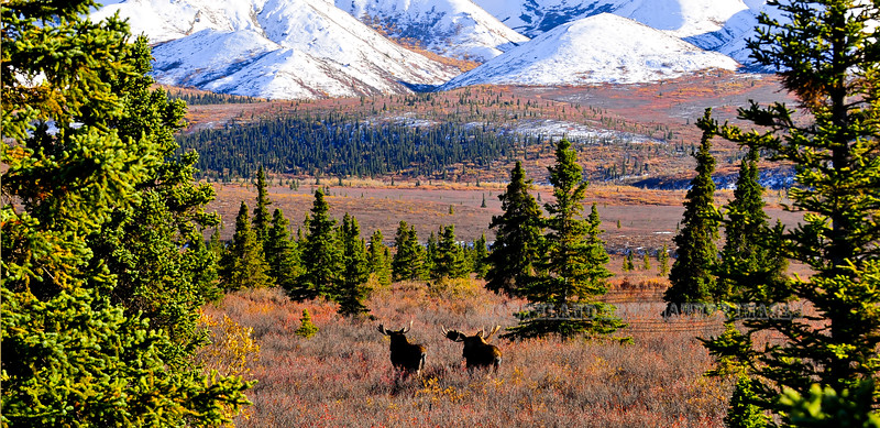 Moose and the fall color. 1x2 ratio format. #9111.059.