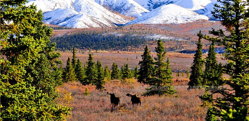M-2012.9.11#059. Moose and the fall color. Eleven mile, Denali Park Alaska.