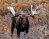 M-2011.9.12#115.6. An Alaska moose with unusual antler formation that resembles and appears to carry the genes of a great bull that lived in this area a decade before and lived to grow 80 inch antlers. Denali Park, Alaska.