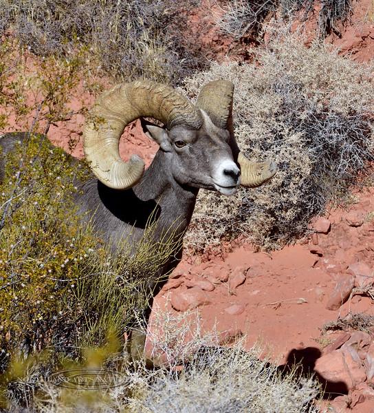 SBHD-2019.10.12#745.3. A Desert Bighorn ram.