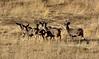 DM-2019.10.15#618.2. Mule Deer buck and does east of Mount Carmel Junction Utah. Photo by Guy J.