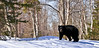 Black Bear. Anchorage,Alaska. #49.141.
