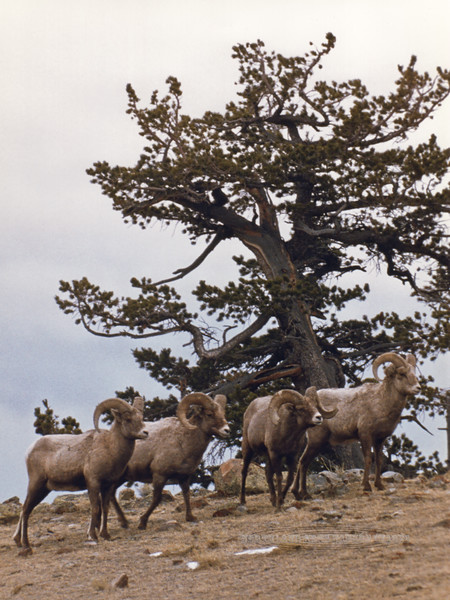 SBHRM-1985.3.1#197. A small group of Bighorn rams pass an ancient Limber pine at about 9000 feet on 11,000 foot Whiskey mountain in the Wind River Range of Wyoming. Scanned from old film stock.