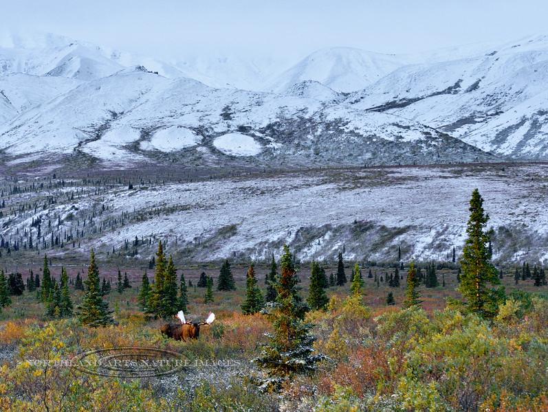M-2015.8.28#022. Alaska Moose. Eleven mile, Denali Park Alaska.