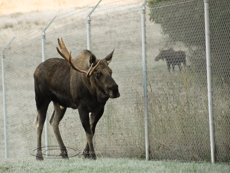A one antlered bull is trying to find a way through the McKinley fence. There is a smaller bull with two cows on the other side and the rut is on. Anchorage Alaska. #101.010. 3x4 ratio format.