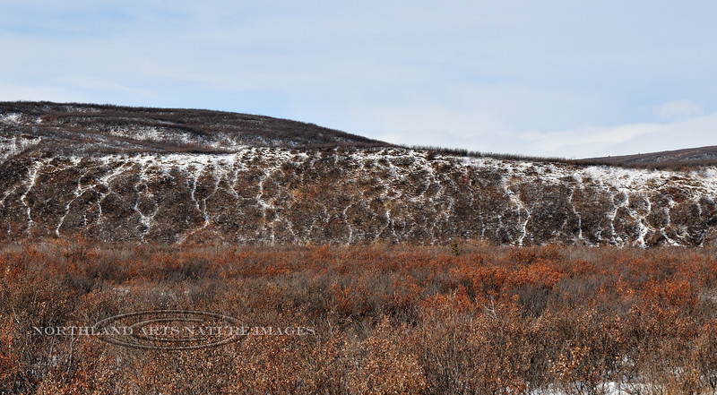 C-2012.10.18.2. Trails from many years of caribou migrating through this area. Denali Country Alaska.