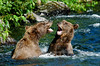 """91-2006.7.31#0374. Two juvenile Brown bear siblings """"horsin"""" around. Russian River, Kenai Peninsula, Alaska. A 1x2 ratio format is viewable in the Brown/Grizzly bear section of this gallery."""