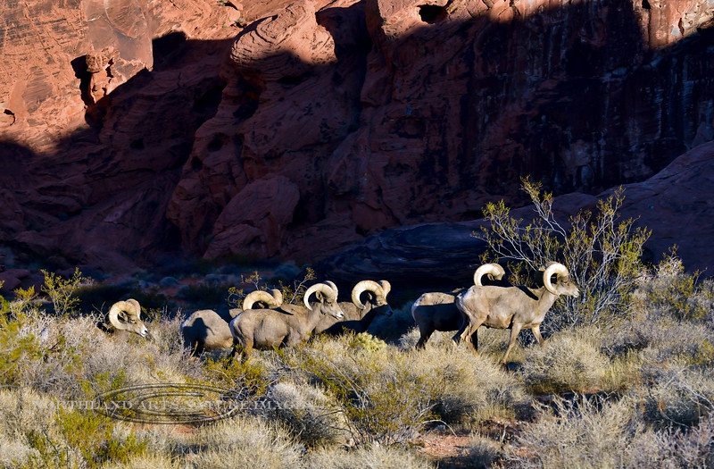 SBHD-2021.2.21#5853.3. A group of Desert Bighorn rams are on an evening trek to get to their next resting place.