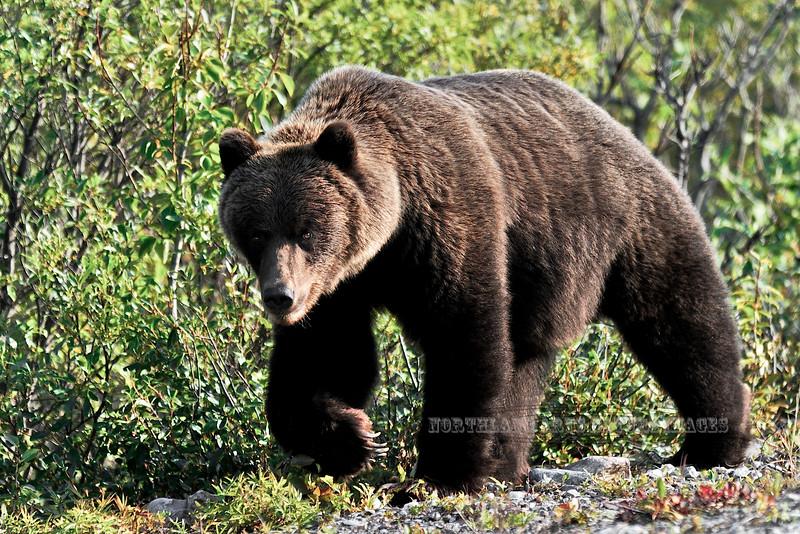 BG-2008.8.24#039. A big male Grizzly. Nine mile drainage, Denali Park  Alaska.