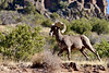 SBHRM-2018.6.12#085. An Arizona Rocky Mountain Bighorn.