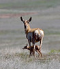 AP-2020.4.23#0070.3. A Pronghorn Antelope doe with her newborn fawn. Yavapai County Arizona.