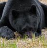 BB-2017.5.16#1115.7crp. A close crop of the previous Black Bear image.