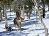DM-2019.2.27#262. Mule Deer. Kaibab Forest Arizona.