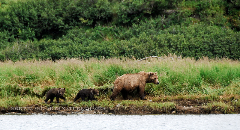 """BBR-2010.8.12#104.4. A sow brown bear with """"springer"""" cubs. Below Enders Island on the McNeil River of the Alaska Peninsula Alaska. Photo by Mary Lou Boughton."""