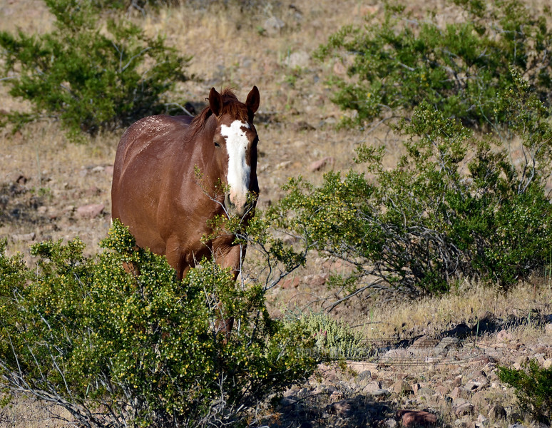 H-2020.5.4#2132.2. This  mare that lead a group of four wild horses is staring me down. North Shore of Lake Mead Rec.area Nevada.