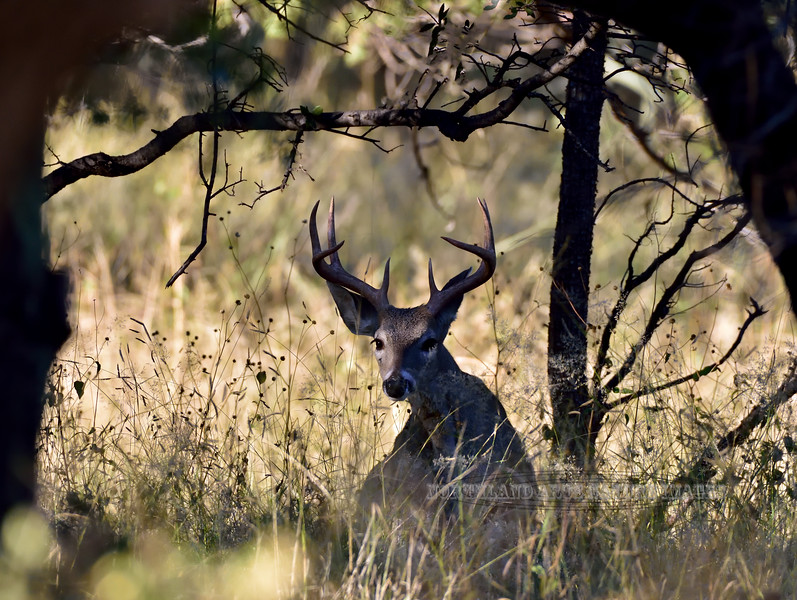 DC-2018.10.16#088. Coues Whitetail Deer. A really good buck rising from his bed. Arizona.