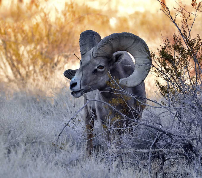 SBHD-2021.2.21#5891.2. Just when these rams were getting used to me they worked their way into a dark canyon where the sun was already gone for the day. I had to push the ISO too hard for any good quality images.