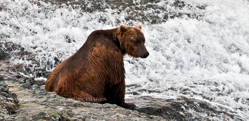 A Brown bear is resting between fishing forays. McNeil River, Alaska. #812.107. 1x2 rati format. A 2x3 ratio format of this image is available on page 4 of this gallery.
