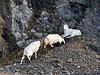 "SD-2014.11.25#043-Battle drama during the Dall sheep ""Rut"". Chugach Mnt's., Alaska."