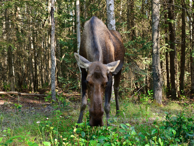 M-2014.8.17#131. Cow moose with a calf that approached me while I was photographing mushrooms. Kincaid Park, Anchorage Alaska.