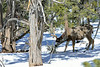 DM-2019.2.27#070. Mule Deer. Kaibab Forest Arizona.