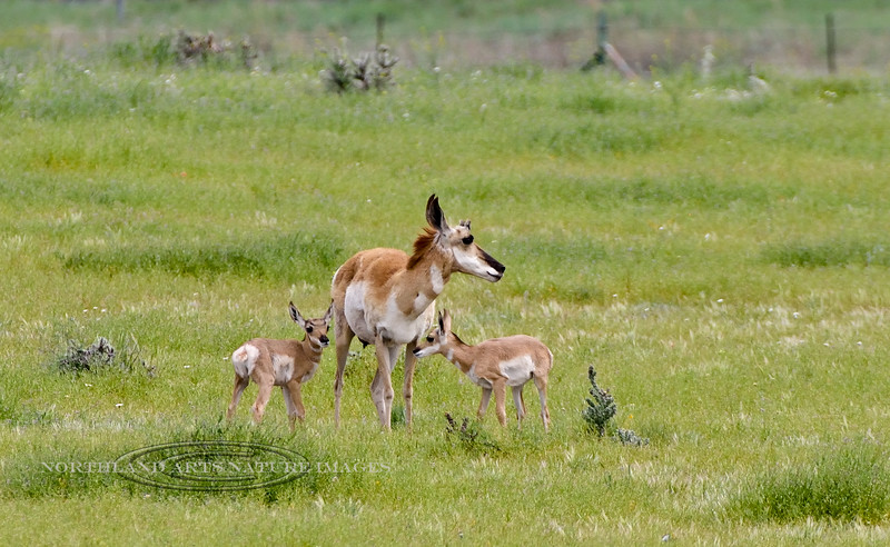 AP-2020.4.30#1371.2X. A Pronghorn Antelope doe with two fawns. It sure looks like a good year with lots of fawn sightings. Yavapai County Arizona.