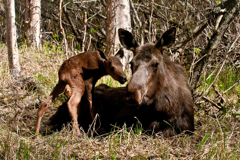 Newborn moose calf. Anchorage, Alaska. #520.019. 2x3 ratio format. A similar image in a 1x2 format of these same animals is available on page 4 of this gallery.