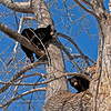 BB-2011.4.12#067. Sow & cub Black Bears. The sow denned in this hollow cottonwood with 3 yearling cubs. This was one of the first days they ventured out and later left the tree for thier first walk about. Campbell Creek, Anchorage, Alaska.