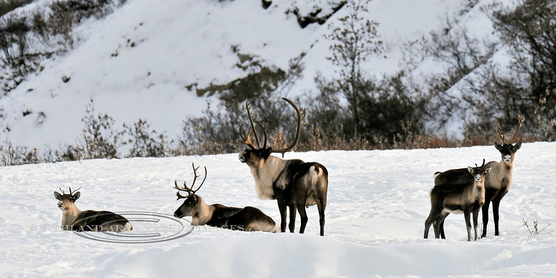 Alaska Barren Ground Caribou resting during fall  migration. Eastern Alaska Range, Alaska. #104.051. 1x2 ratio format.