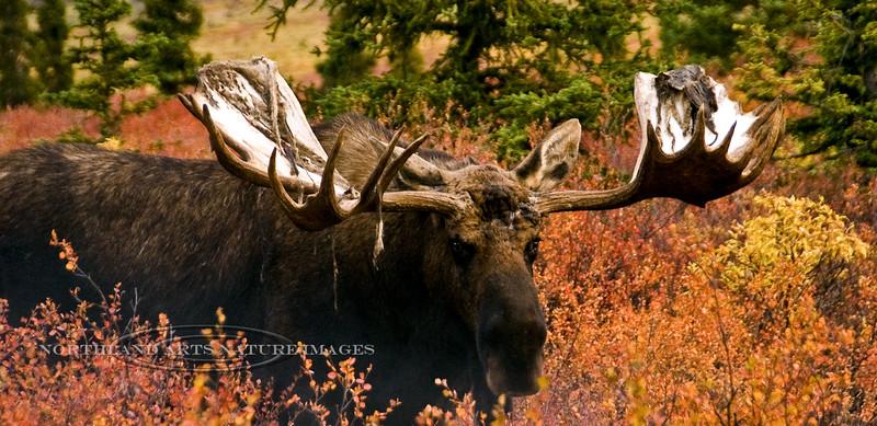 M-2008.9.5#072. Alaska Moose. Denali Park Alaska.