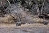 J-2019.1.16#081. Javelina. Yavapai County Arizona.