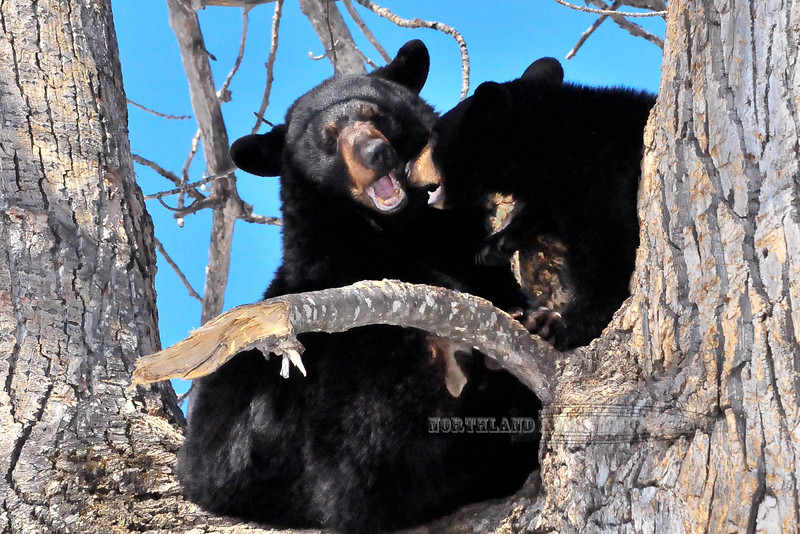 A sow Black Bear with her cub on a sunny day in mid April. #418.278.