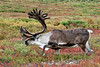 C-2012.8.21#372.6. A truly magnificent bull caribou of the Barren Ground species. Denali Park Alaska.