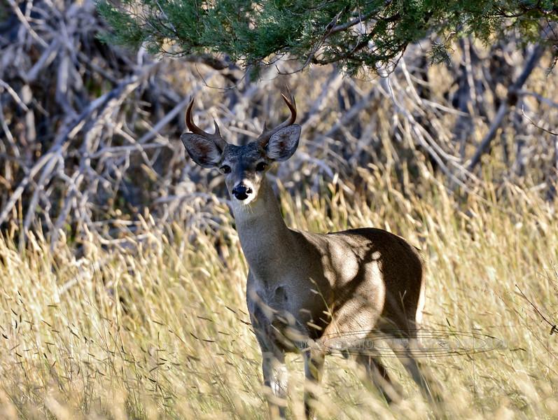 DC-2018.10.17#1030. Coues Whitetail buck. Arizona.