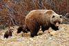 BG-2012.5.26#090. Grizzly, Sow & Cubs. Polychrome Pass, Denali Park Alaska.