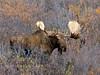 M-2015.9.15#137 Alaska Moose. Near nine mile, Denali Park Alaska.