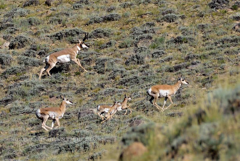AP-2018.7.7#2115. Pronghorn Antelope. Wyoming.