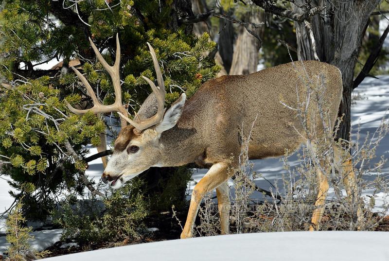 DM-2019.2.27#056. Mule Deer. Kaibab Forest Arizona.