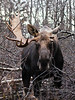 M-2005.10.17#0115. Alaska moose. A bull who was in one heck of a fight or had a vehicle encounter. He was very aggressive this year after the injury. Kincaid Park, Anchorage Alaska.