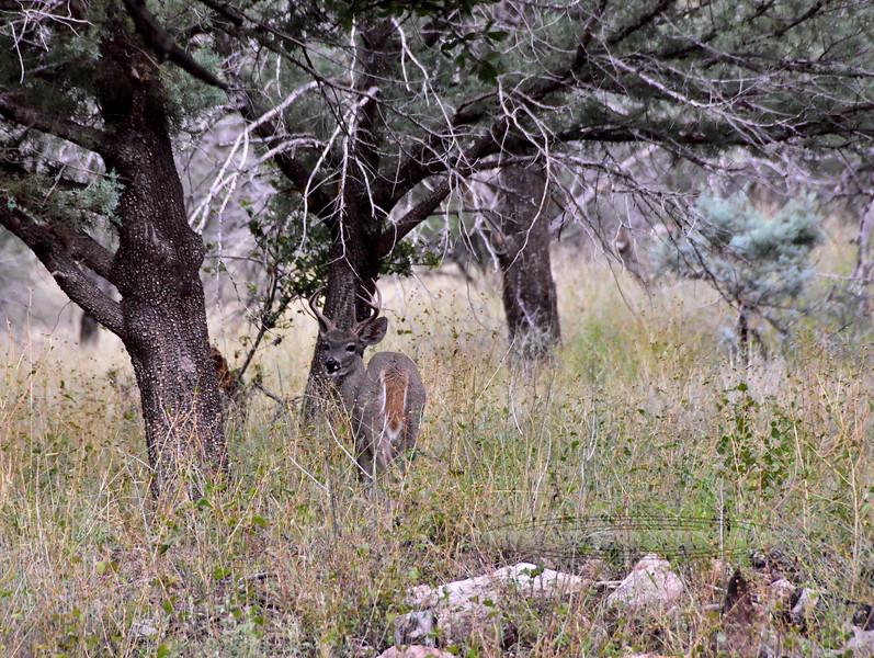 DC-2018.10.8#692. Coues Whitetail buck. Arizona. Photo by Guy J.