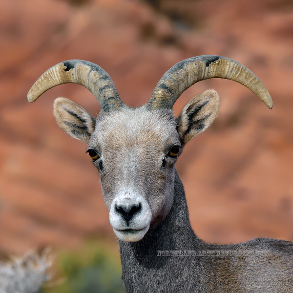 SBHD-2018.12.14#1303. A portait of a Desert Bighorn ewe.