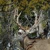 DM-2019.2.27#032b. A good Muley buck. Kaibab Forest Arizona.