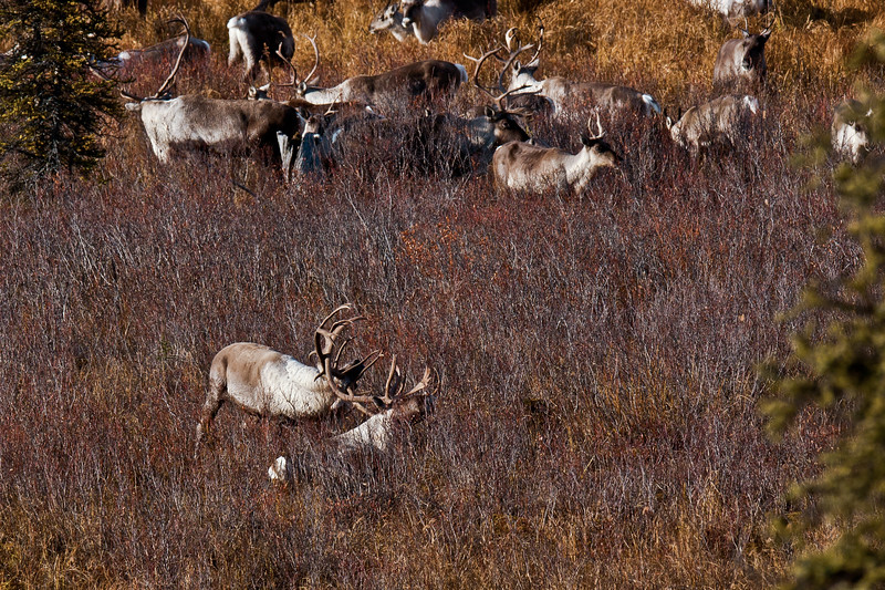 C-2011.10.4a#064.5. Caribou can be brutal and inflict serious injury and damage  when the battling for control of a herd is for real during the rut. The bull in the foreground was knocked completely out when they clashed and now their antlers are locked together. The standing bull struggled for a long time until he rolled over on his back motionless. I missed the shot when he simply stood up and their antlers came apart. Denali Country, Eastern Alaska Range Alaska.